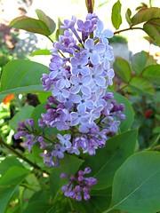 Lilac (joeysplanting) Tags: lilac