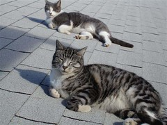 Feral cats who have been vaccinated and neutered