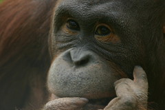 Deep in thought (sprigglet) Tags: red closeup oneofakind wildlife orangutan ape naturesfinest digitalcameraclub animalkingdomelite abigfave superbmasterpiece diamondclassphotographer flickrdiamond ysplix earthtouchcom