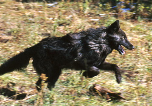 blckwolfnps2