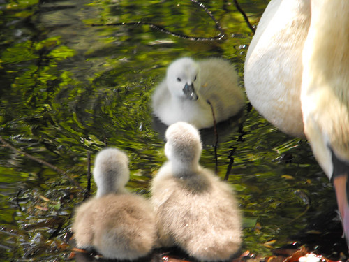 Swan babies' first outing