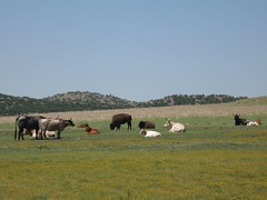 Buffaloes and Longhorned Cattle