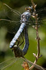Copulation wheel (macropoulos) Tags: topf25 wheel 500v20f dragonfly mating animalia arthropoda gettyimages odonata libellulidae copulation insecta anisoptera naturesfinest orthetrum canonef100mmf28macrousm brunneum canoneos400d 30faves30comments300views vivitar2xteleconverter macrophotosnolimits ysplix excapturemacro gettyimages:date_added=pre20110607