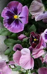 Barbers' Garden 2008: Pansies