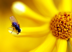 I wonder what's down there... (Maron) Tags: flower macro yellow fly dof bokeh naturesfinest hbw supermarion bildekritikk marionnesje