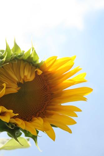 Brand new sunflower
