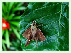 Lerema accius (Clouded Skipper) on Crossandra leaf, a female specimen in Malaysia