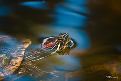 Turtle.jpg (HVargas) Tags: slr beautiful canon wonderful sadness stand moving amazing puertorico turtle gorgeous shell ef50mmf14 sos aquatic lover striking canoneos reptiles republicadominicana smrgsbord photoshopelements canoneo