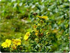 Traffic (Michelsen Photography) Tags: macro nature yellow closeup lumix september bee motive 2008 zazzle otw ©allrightsreserved roymichelsen httpwwwzazzlecomneslehcim motive4u2see