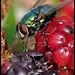 fly feasting on the Blackberrys.