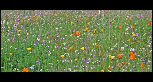 Campo de flores....