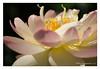 DSCF0651 (Andrea Gazzarrini Photo) Tags: flower fiore aquaticplants nelumbo nelumbium fiorediloto pianteacquatiche estatesummer fiordiloto nikkor7020028vr flowerlotussacredlotus nelumbonuciferaflower andreagazzarrini