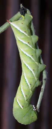 TobaccoHormworm6