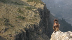 Juvenile above sleeping cliffs (jtkerb) Tags: baby monkey gelada geladababoon guassa