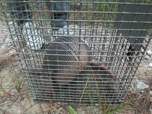Bonita Springs Armadillo Trap