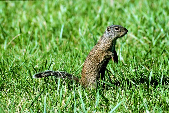 fsgroundsquirrel.jpeg.jpg