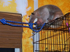Pua pulls on a rope