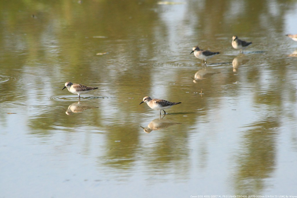 小濱鷸 Little Stint - IMG_0242