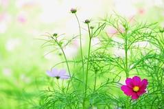 Bright Sunny Day (*Sakura*) Tags: pink autumn flower green fall japan explore  sakura  cosmos  cosmosflower alemdagqualityonlyclub