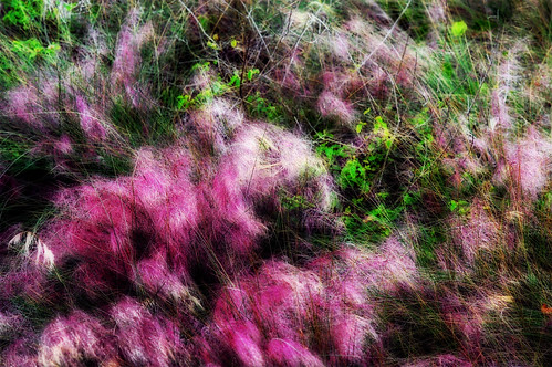Purple Grasses