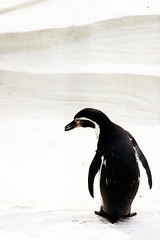 penguin (* chibi * busy again... sorry) Tags: animal digital eos penguin kiss abigfave aplusphoto colourartaward platinumheartaward