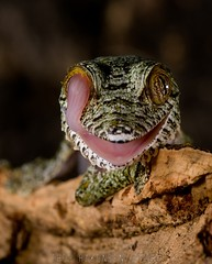 Uroplatus fimbriatus - Giant Leaf-tailed Gecko (Thor Hakonsen) Tags: meg gecko gekko uroplatusfimbriatus leaftailedgecko håkonsen macrofoted thorhakonsen naturewatcher nikond300 bladhalegekko sigmaex150mmf28hsmmacro beautifulmonsters giantleaftailedgecko reuzenbladstaartgekko kjempebladhalegekko blattschwanzgecko