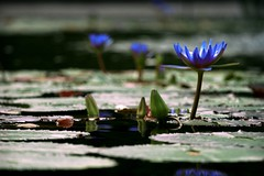 Go Obama! (Lazyousuf) Tags: nyc canon waterlily lily centralpark obama canonef70200mmf40lusm explored xti explore8 44thuspresident