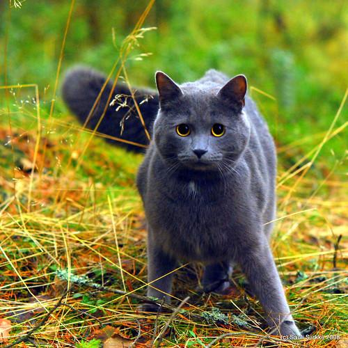 Cat: Blue-gray pussyca...