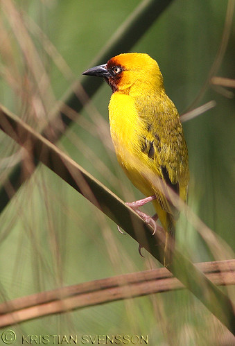Northern Brown-throated Weaver (Ploceus castanops) by macronyx.