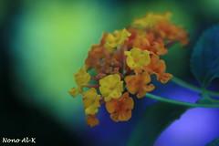 Yellow & green (Nouf Alkhamees) Tags: flowers blue flower macro green colors yellow canon alk nono nof  alkuwait  nouf       aplusphoto  colourartaward noufalkhamees