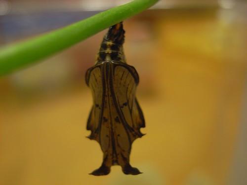 你拍攝的 蝶蛹背面。