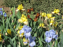Iris garden bed