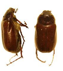 Phyllophaga sp. (IvanTortuga) Tags: arthropoda coleoptera insecta scarabaeidae melolonthinae phyllophaga polyphaga scarabaeoidea melolonthini