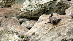 A seal on the rocks near Kaikoura, New Zealand
