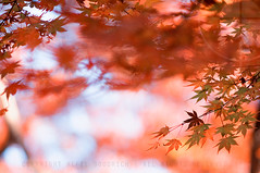 Drowning in bokeh: Rikugien Gardens, Tokyo (Alfie | Japanorama) Tags: park autumn trees blur tree nature leaves japan geotagged asian japanese tokyo maple focus asia branch bokeh branches momiji acer koen rikugien hbw goldenbokeh nikkor50mmf12ai happybokehwednesday drowninginbokeh geo:lat=35733274 geo:lon=139745545