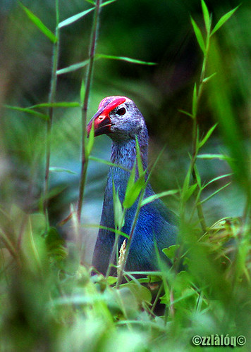 Pangling @ Purple Swamphen