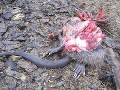 half-eaten (dgjl.) Tags: abandoned nature animal flesh death skin decay tail deadleaves ribs paws claws insides hairs