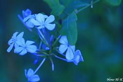 Blue Flowers (Nouf Alkhamees) Tags: flowers blue flower macro canon 100mm alk nono   nof alkuwait  nouf      aplusphoto  noufalkhamees