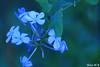 Blue Flowers (Nouf Alkhamees) Tags: flowers blue flower macro canon 100mm alk nono وردة ورود nof alkuwait الكويت nouf اخضر ازرق ماكرو كانون نوف aplusphoto نونو noufalkhamees نوفالخميس