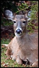 Ahhh now that my belly is full,I think I  will take a nap. (texym11-in and out :)) Tags: nature backyard wildlife doe deer surprise cannon suburbs whitetaildeer