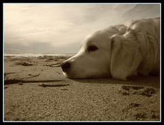 Tro en la playa (xtm) Tags: dogs golden playa retriever perros tro