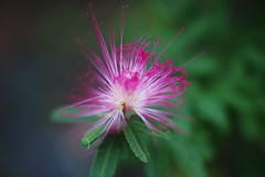 silk tree @    (ddsnet) Tags: flowers plant flower tree japan sony silk   nippon osaka  nihon 900  backpackers silktree         mywinners abigfave   osakafu  sakashi  900