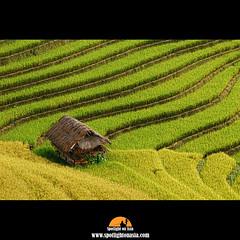 Green & Gold Rice (Malcolm Fackender) Tags: nikon rice vietnam 5photosaday northvietnam d80 earthasia spotlightonasia malcolmfackender