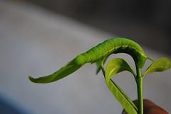 Green Caterpillar (mynameisharsha) Tags: india plant macro green insect leaf nikon colorful bangalore moth caterpillar stick karnataka d60 1855mmf3556gvr mynameisharsha