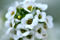 Sweet Alyssum (naruo0720) Tags: plant flower macro nature closeup nikon bokeh d300 sweetalyssum naturesfinest abigfave theunforgettablepictures overtheexcellence goldstaraward スイートアリッサム