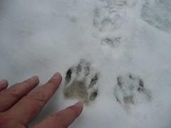 animal tracks (maxfun47) Tags: snow snowstorm winterstorm arcticblast