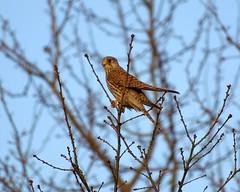 Falco (Marrrcelll) Tags: denhaag wateringseveld falcotinnunculus torenvalk commonkestrel marrrcelll