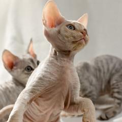 Taking Off (peter_hasselbom) Tags: cats cat silver 50mm kitten play tabby flash kittens devonrex 8weeksold eightweeksold 3kittens cc100 threekittens