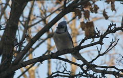 Bluejay, last time we saw him