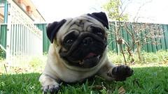 The Lazy Blob (Sonny Click Clack) Tags: pug chewie tz5